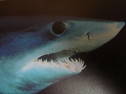 Close_up_of_mako_shark_head_005.jpg